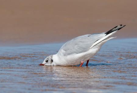A black-headed gull (Chroicocephalus ridibundus) drinking water on the beach Stock Photo