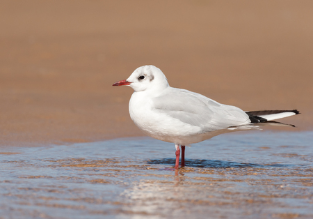 A black-headed gull (Chroicocephalus ridibundus) standing in a puddle of water on the beach