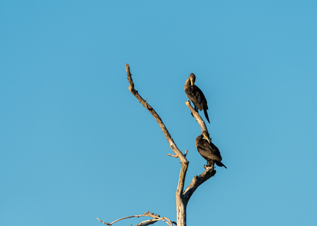 Two juvenile cormorants on a tree preening Stock Photo