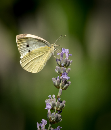profile: Small cabbage white butterfly on a flower Stock Photo