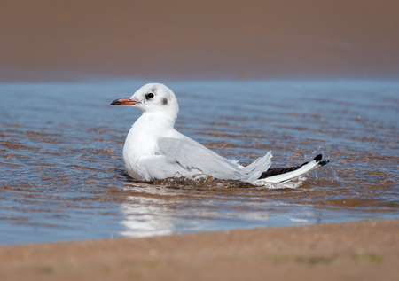 A black-headed gull (Chroicocephalus ridibundus) bathing on the beach in a puddle of water