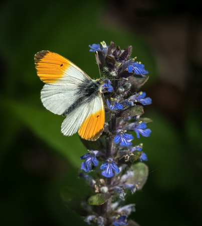 Closeup of an orange tip butterfly on Ajuga reptans