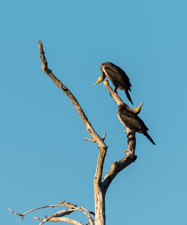 Two juvenile cormorants on a tree preening Stock Photo