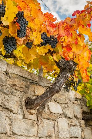 Vineyards near Weissenkirchen Wachau Austria in autumn colored leaves on a sunny day