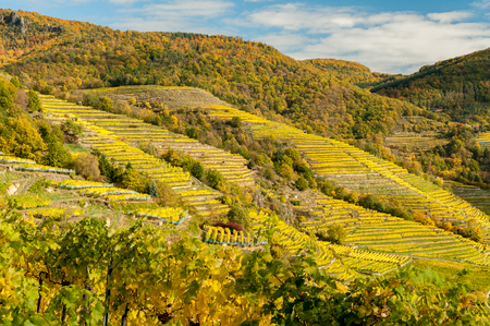 Vineyards near Weissenkirchen Wachau Austria in autumn colored leaves on a sunny day