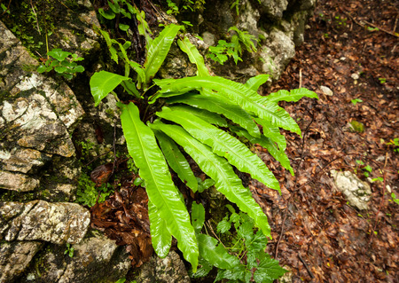 Closeup of a fresh green fern growing in the forest