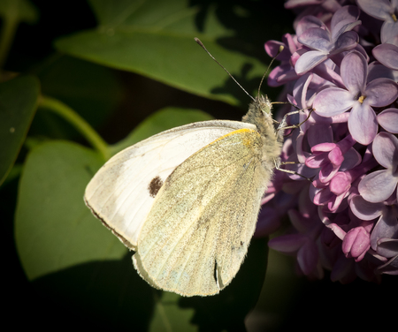 pieris: Closeup of a cabbage butterfly feeding on lilac blossoms (Croatia, Europe)