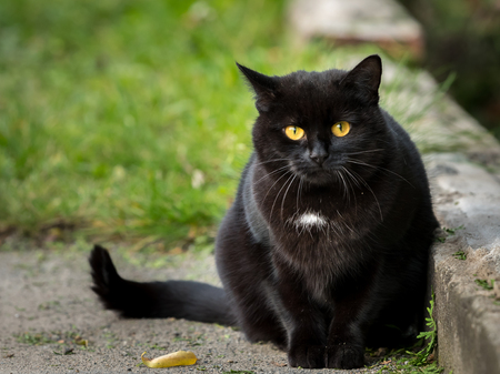 Portrait of a black cat with a white spot staring into the camera