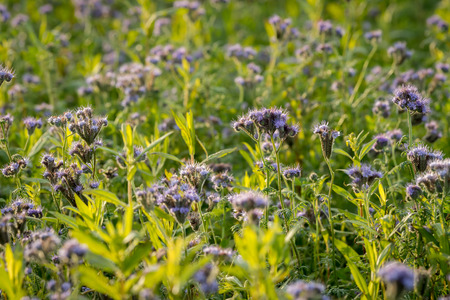 kerneudikotyledonen: Details of a Phacelia field in autumn blossoms backlit Stock Photo