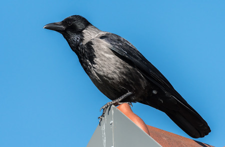 A Carrion Crow sitting on a rooftop sunny day blue sky