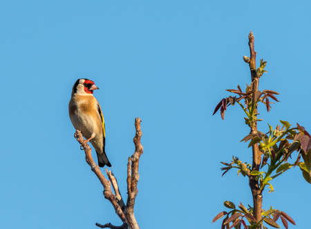 A European goldfinch sitting on a tree in springtime, blue sky
