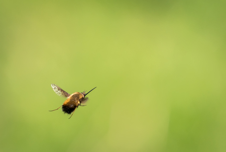 A bee fly (bombyliidae) flying in front of a blurry green background on a sunny day