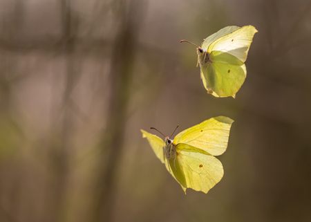 Two common brimstones flying in the air in spring in a forest