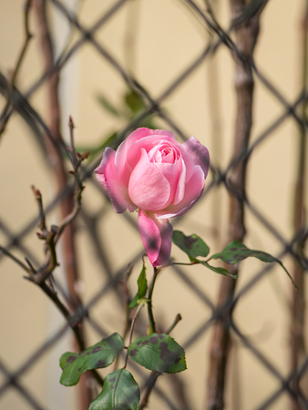 A pink rose blossom behind an iron fence in autumn Stock Photo