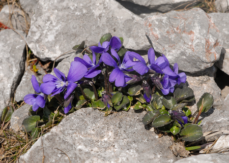 An alpine violet (Viola alpina) in the eastern austrian alps