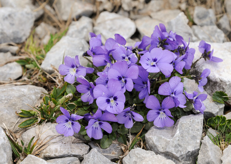 An alpine violet (Viola cf. calcarata) in the eastern austrian alps Stock Photo
