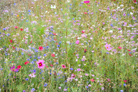 A flower meadow with different colored flowers (Cosmea bipinnatus, garden cosmos, Mexican aster, cornflower, Centaurea cyanus) in summer