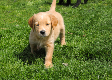 A very young golden retriever hybrid walking on a lawn Stock Photo