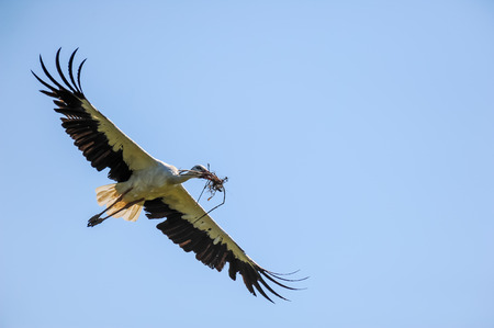A flying white stork approaching with material to build a nest (horst) Stock Photo