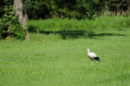 A white stork in the bird reservation area