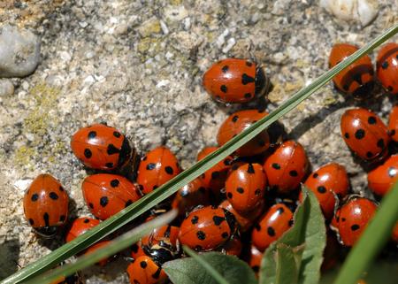 A group of seven-spot ladybirds (Coccinella septempunctata) on a stone, spring Austria