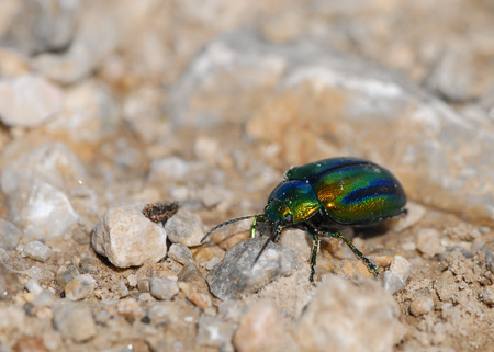 Closeup of a colorful leaf beatle on the ground, Schneeberg Austria
