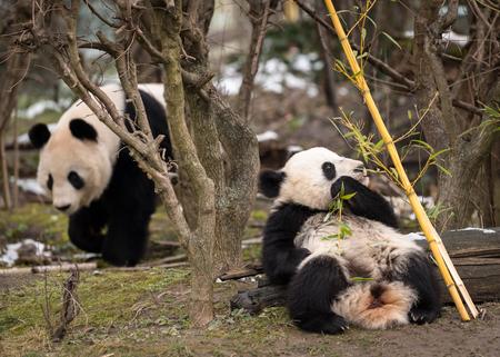 A young giant panda (Ailuropoda melanoleuca) sitting and eating bamboo Banco de Imagens