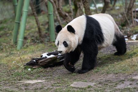 A female giant panda (Ailuropoda melanoleuca) walking in a zoo