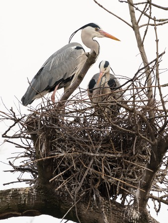 Two grey herons (Ardea cinerea) standing in their nest