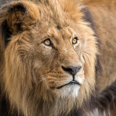 A portrait of a male lion (Panthera leo) in captivity