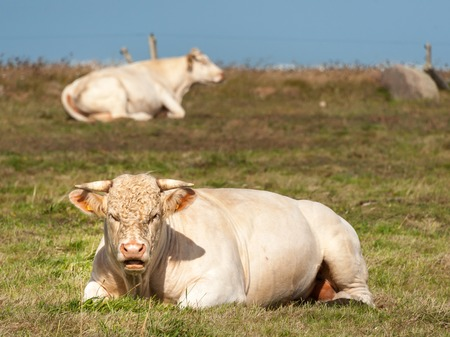 A white ruminating cow laying on a meadow, Normandy France