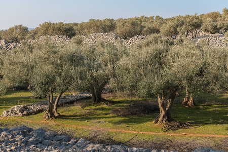 Olive grove and stone walls near the city of Cres, Croatia 스톡 콘텐츠