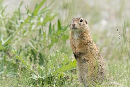 A European ground squirrel (Spermophilus citellus) standing in a green meadow in spring (Austria)