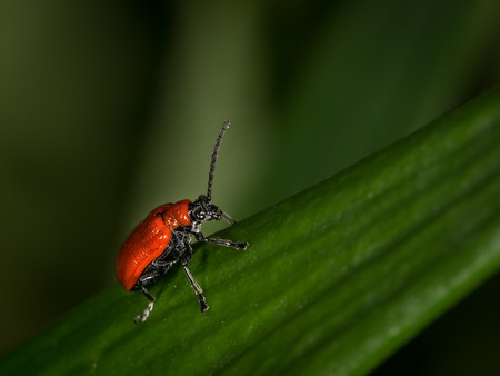 Scarlet lily beetle (Lilioceris lilii, family Chrysomelidae) sitting on a green leaf
