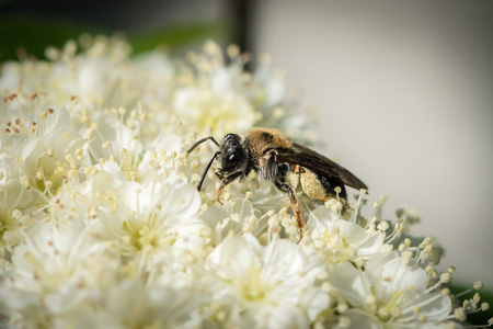 Small mining bee (Andrena, family Andrenidae) on a white flower Stock Photo