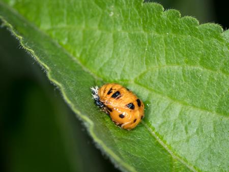 Pupa of Asian ladybeetle (Harmonia axyridis, Coccinellidae) situated on a green leaf Stok Fotoğraf