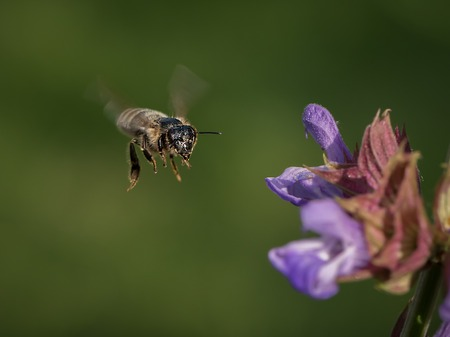 Closeup of a honeybee in flight approaching the blossoms of common sage