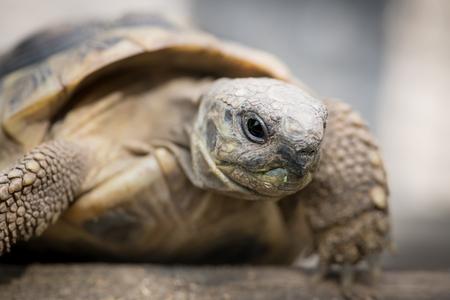 Portrait of a tortoise (Testudo hermanni boettgeri) climbing on a piece of wood