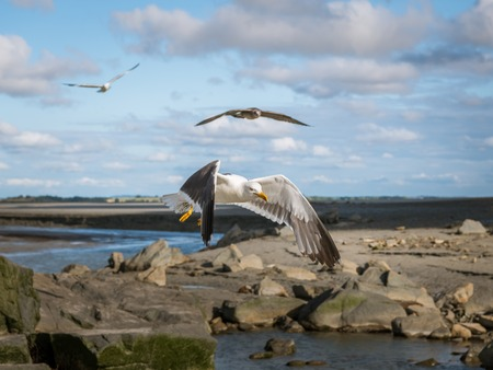 Lesser black backed gull (Larus fuscus) in flight on a sunny day in summer (Normandy, France) Stock Photo