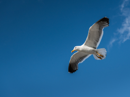 Lesser black backed gull (Larus fuscus) in flight on a sunny day in summer (Normandy, France) Banco de Imagens