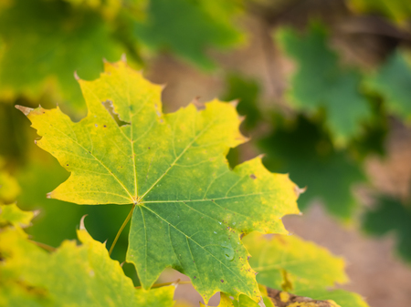 Color changing leaf of a norway maple (Acer platanoides) in autumn