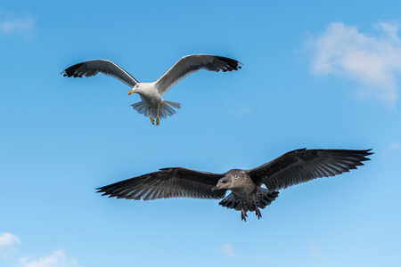 Lesser black backed gulls (Larus fuscus) in flight on a sunny day in summer (Normandy, France)