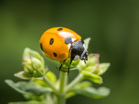 A ladybird (Coccinella septempunctata) sitting on a green plant in a garden