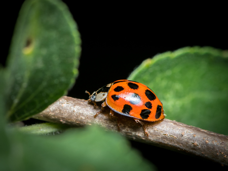 An adult Asian ladybeetle (Harmonia axyridis, Coccinellidae) sitting on a small twig Imagens