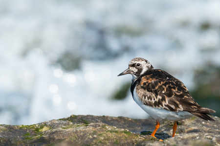 A ruddy turnstone (Arenaria interpres) standing on a rock near the sea, Brittany France
