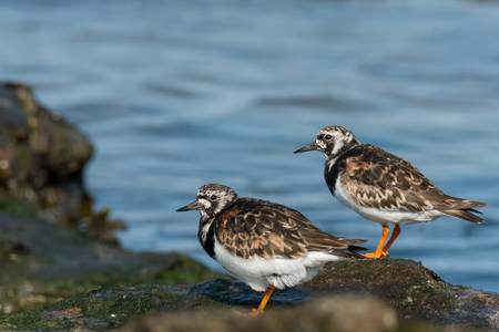 Two ruddy turnstones (Arenaria interpres) standing on a rock near the sea, Brittany France 写真素材