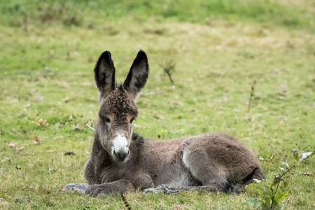 Closeup of a young donkey lying in a green pasture