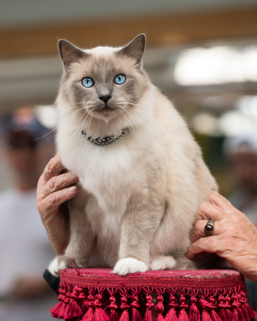 A beautiful light grey cat with blue eyes, sitting 写真素材