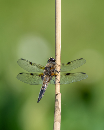 Four spotted chaser (Libellula quadrimaculata) sitting on a rod in broad sunlight, green background Stock Photo
