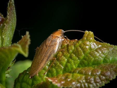 A cockroach (Ectobius vittiventris) sitting on a green leaf. This is a blattodea that mainly lives Southern of the Alps. During the past years, it managed to spread to Northern regions of the Alps. The animal is harmless to humans